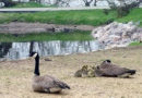 It hits the fan: city looks to UWSP to 'harass' geese at Pfiffner
