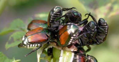 They're baa-ack—Japanese beetles return to Central Wisconsin