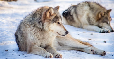 WisDNR to establish guidelines for wolf hunt Jan. 22